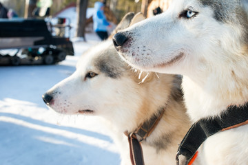 Two Siberian husky. Fun and sad