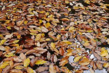 Herbstblätter schwimmen auf Wasseroberfläche