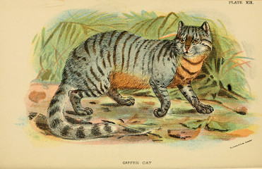 Illustration of predatory cat.