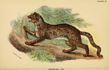 Illustration of predatory cat.