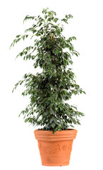 Ficus Benjamina Danielle Plant on Light Brown Pot