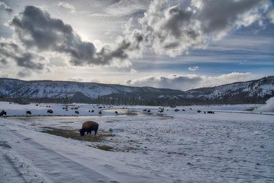 Biscuit Basin area - Buffalo/Bison in Winter Landscape