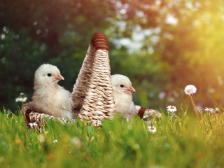 Cute newborn Chicks in a basket. Green the grasses, the sun and flowers. Easter