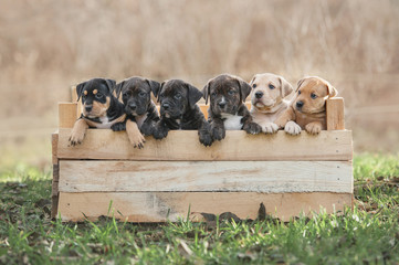 Litter of american staffordshire terrier puppies in a box