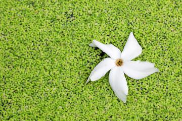 Wall Mural - white flower on green duckweed background.