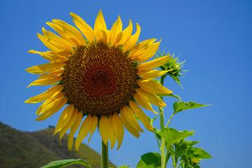 sunflower thai thaimassage med he