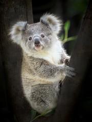 Baby koala bear sitting on a tree.
