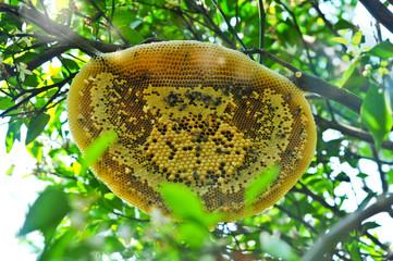 Honeycomb or Bee's nest in Organic Orange Garden