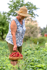 Woman farmer in strawberry field, harvest of strawberries to the basket, organic farming concept