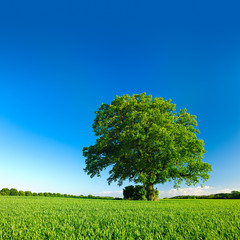 Fototapete - Große solitäre Eiche, grünes Feld, blauer Himmel