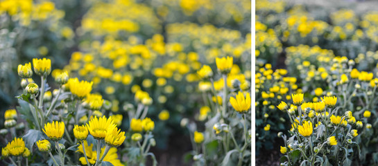 Abstract background of yellow flowers