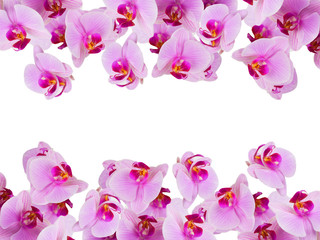 Pink orchid flowers on a white background