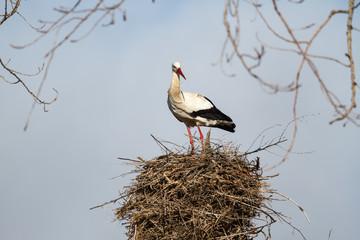 Ciconia ciconia. Cigüeña blanca en el nido.
