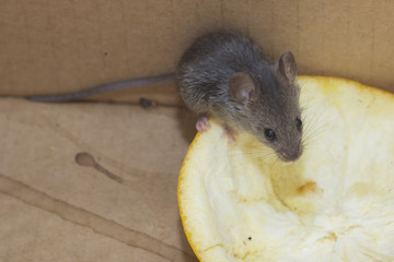 Mouse Mus musculus