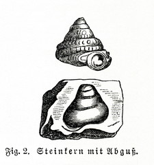 Fossil of snail - cast and mold (from Meyers Lexikon, 1896, 13/740)