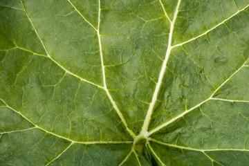 Rhubarb leaf full frame background