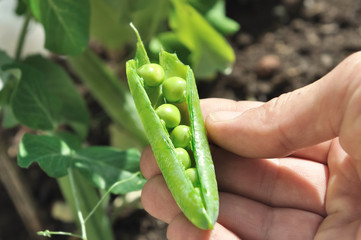 Pea in their open pod held in a hand