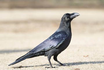 Crow on dried lawn in winter.