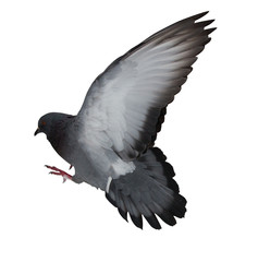 isolated on white dark grey flying dove