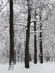 Trees in the snow. After a heavy snowfall. A lot of snow on the branches of trees in the Moscow Park. Cloudy weather. Graphic photography. Style of black and white photography.