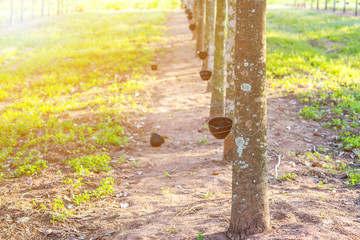 Rubber plantation with light sunset on Background
