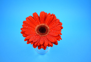 Red gerbera flower stock images. Red gerbera flower on a blue background. Beautiful red gerbera daisy