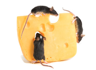 closeup three young  mice on piece of cheese maasdam on white background