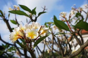 Plumeria, frangipani tree with beautiful flowers blooming