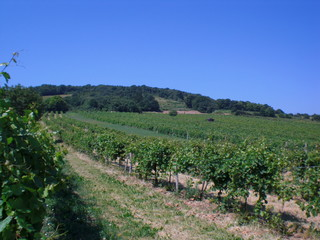 Vineyard in summer, lower-austria, oak hill