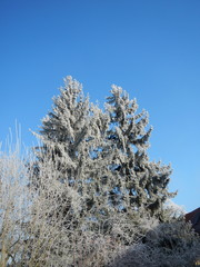 Common Spruce in Winter, Frost
