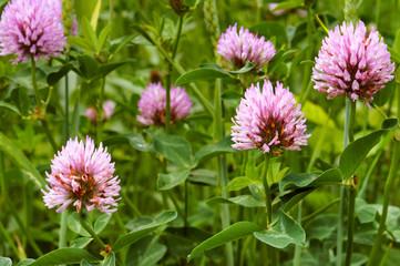 clover wild flower, pink clover summer flowering plant