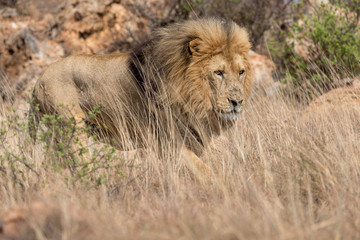 Lion Kruger National Park