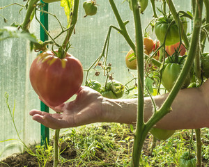 It's time to harvest ripe tomatoes grown in a greenhouse