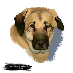 Anatolian Shepherd Dog digital art illustration isolated on white background. Anatolian Shepherd dog muscular breed with thick neck, broad head, and sturdy body, white cream color dog portrait