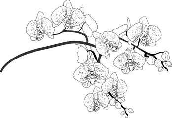 orchid branch outline isolated on white