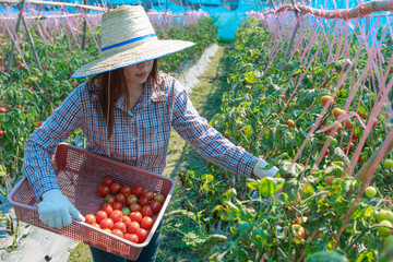 Young girl farmer  harvest  tomato. agriculture and food production concept.
