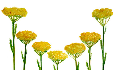Yellow Flowers In Watercolor On White Background