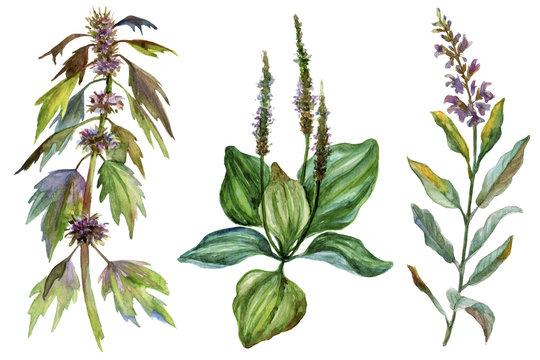 Set of three watercolor medicinal herbs.
