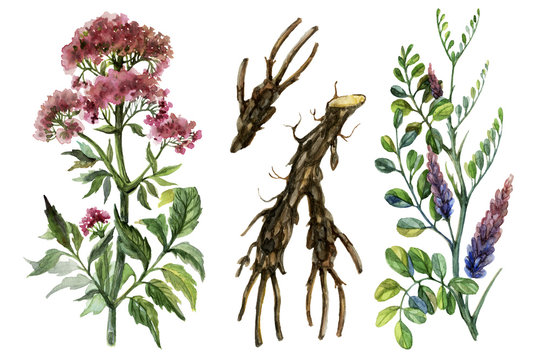 Watercolor medicinal herbs. Licorice and valerian.