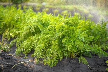 Fototapete - Green fresh background, carrots in the garden bed in garden during irrigation of water, shallow depth of field
