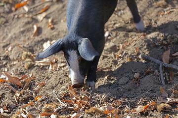 Frei lebendes Schwein auf Korsika bei der Futtersuche