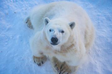 A polar bear of the Ranua Wildlife Park, Rovaniemi, Finland