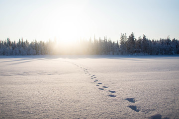 Moose footprints in the snow over the frozen Raudanjoki peat river,  Vaattunki, Finland.