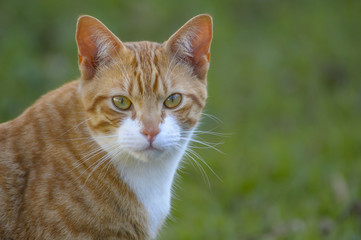 Ginger and white cat, with upright ears and big eyes, staring at camera, with green background and white whiskers showing.