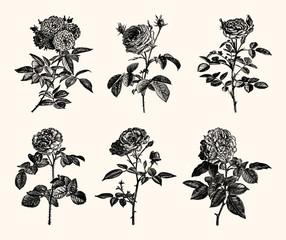 Vintage Floral Line Art - Early 1800s Rose Illustrations