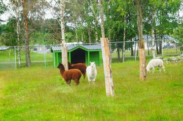Alpacas in field walking