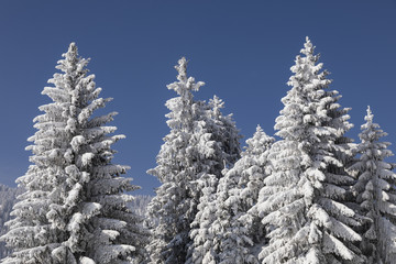 Snow-covered fir trees against the deep blue sky in Switzerland