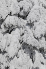 Closeup of fresh snowy fir branches in Switzerland