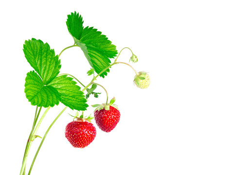Strawberry plant with leaves and berrys, isolated on white background.