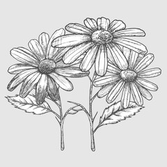 Ink chamomile herbal illustration. Hand drawn botanical sketch style. Absolutely vector.